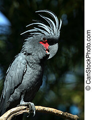 Black parrot in Bali a zoo. Indonesia