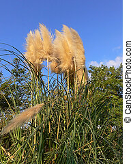 Pampas grass - Tall pampas-grass in an park in Israel under...