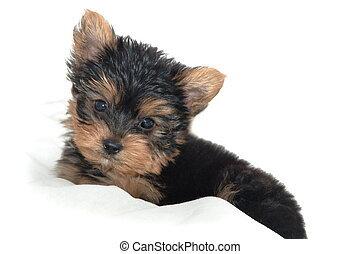 Yorkie Pup - Yorkshire Terrier puppy sitting against white...