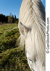 Mane of a Grazing Horse