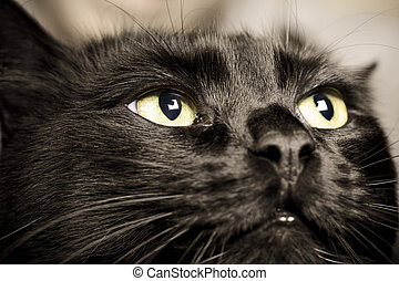 black cat - domestic animals: close-up of cat eyes