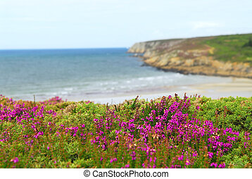 Atlantic coast in Europe - Heather blooming at the Atlantic...