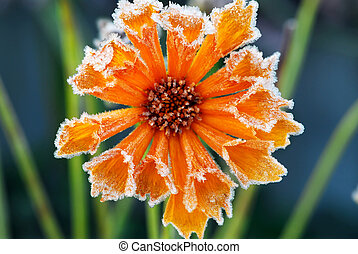 Frosty flower - Morning frost on a flower in late fall Focus...