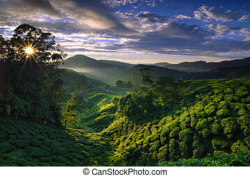 Foggy tea plantation at Dawn - Cameron Highland tea...