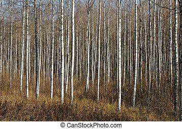 Birch Thicket - A thicket of birch trees during autumn.
