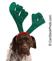 Dog with reindeer antlers - German Short Haired Pointer with...