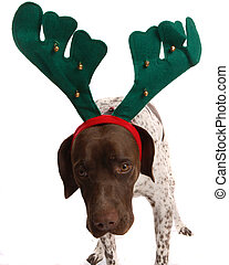 Christmas dogg looking awkward - German short haired pointer...