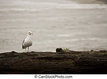 Seagull on Driftwood, Seaside Oregon - Seagull on driftwood...