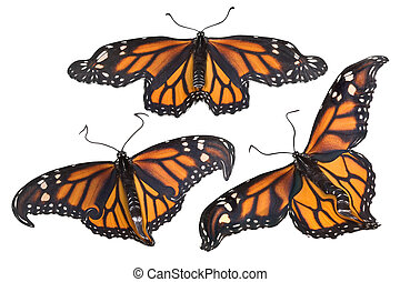 Monarchs on white - Monarch butterflies are flying together...