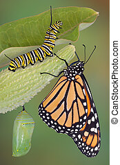 Monarch life stages - A monarch butterfly, caterpillar, and...