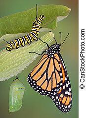 monarca, vida, etapas