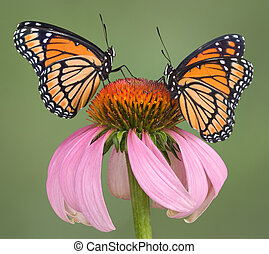 Two viceroys are sitting on a coneflower.