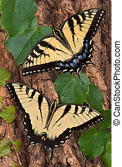 Swallowtails - Swallowtail butterflies are crawling on the...