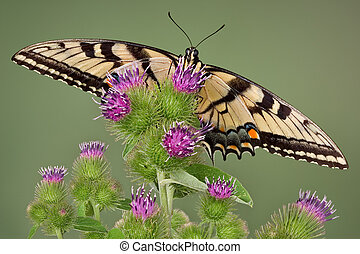 Swallowtail on burr - A swallowtail butterfly is perched on...