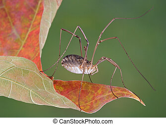 Daddy Long legs on leaf - A daddy long legs is sitting on...