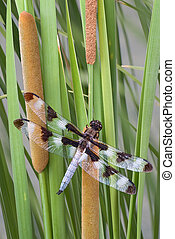 Dragonfly on cattails - A dragonfly is perched on cattails...
