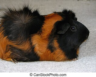Guinea Pig - Cute little guinea pig posing for photo
