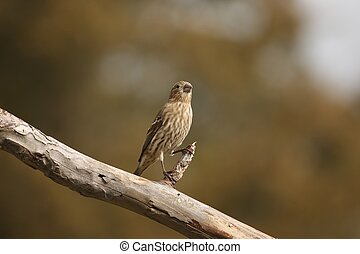 Female House Finch - Perched on a log near my backyard...