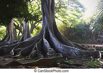 Jurassic Park Trees - Dramatic Moreton-Bay Fig Tree