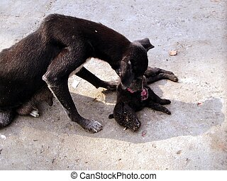 Her Babys Death - A black bitch licking her pup killed in a...