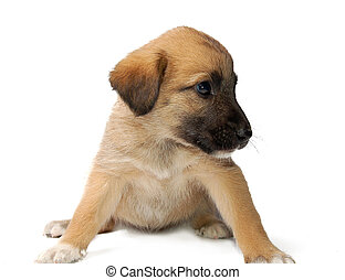 Puppy - Cute puppy on white background