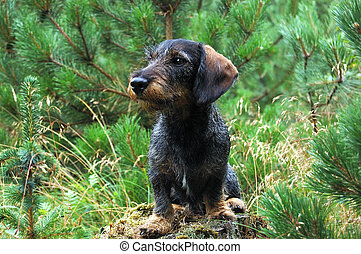 dachshund - this is my dog, the name is called Urs vom...