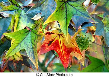 Maple Leaf Fall Closeup