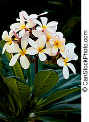 Frangipani - Early morning image of white and yellow...