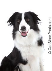 Happy sheepdog - Pretty dog sitting on white background...