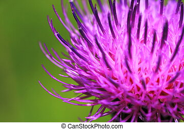 Purple Thistle - milk thistle in full bloom with a blurred...