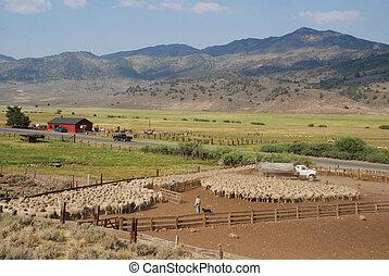 shepherd and his flock - Nevada