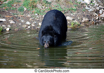 American black bear - A picture of a beautiful American...