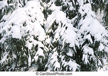 pine and snow - winter background (a lot of snow on trees)