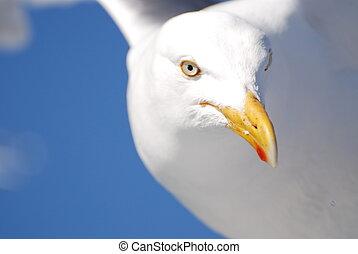 Sea gull close-up - Sea-gull staring at you