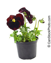 pansy - close-up pf beautiful maroon pensies isolated on a...