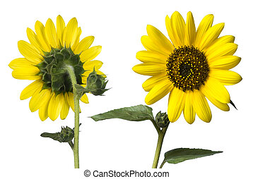 sunflowers front and back isolated on white