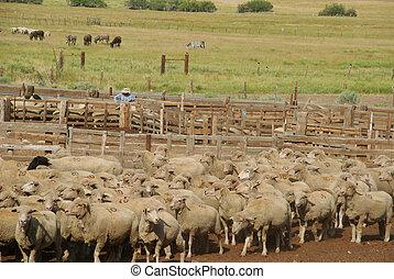 shepherd and sheep - Nevada