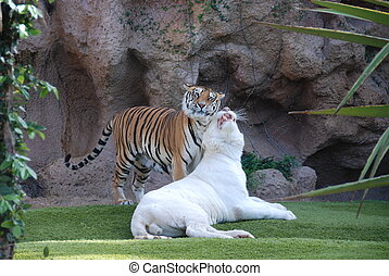 Wild Cats  - Wild cats playing