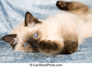 Playfull kitten - Cute ragdoll kitten playing on the couch