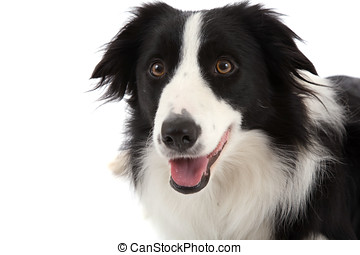 Happy sheepdog - Cute sheepdog with mouth open on white...