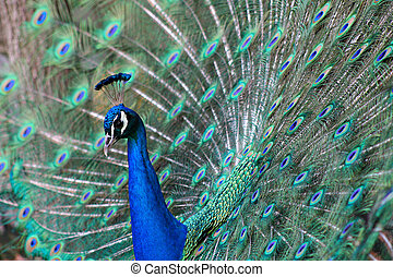Peacock\\\'s beautiful cour - A photo of a peacock showing...
