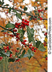 Autumn holly - Holly berries and leaves golden autum...