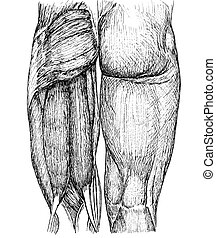 buttocks - pen and ink anatomical drwaing of the back of a...
