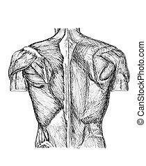 back - pen and ink anatomical drwaing of the back of a man...