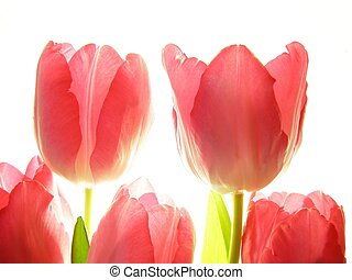 red tulips - Close-up of bunch of red tulips on white...