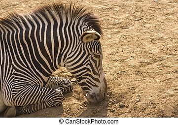 Zebra asleep - A zebra asleep in the afternoon sun