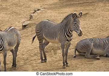 Zebras - Group of Zebras