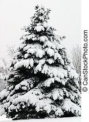 Douglas Fir in Snow Pseudotsuga menziesii - Douglas Fir...