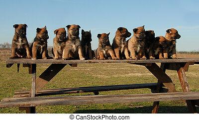 puppies belgian shepherds - eleven puppies purebred belgian...