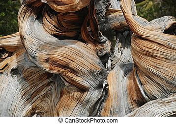 bristlecone Pine tree - detail, close-up